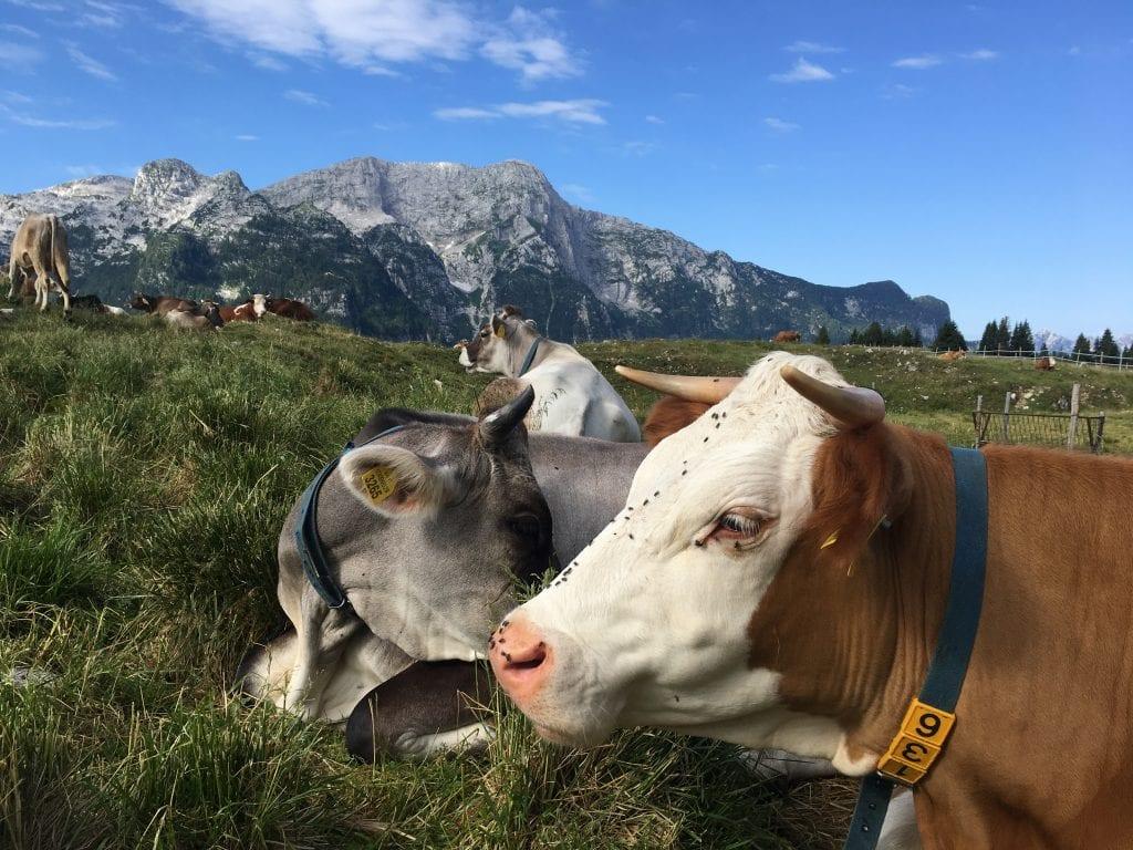Mucche della malga Montasio, Friuli Venezia Giulia