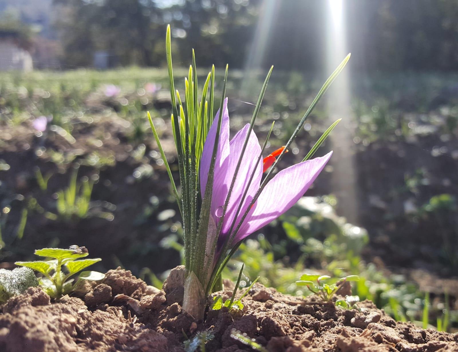 il fiore dello zafferano. la bella storia dello zafferano Ubi Maior