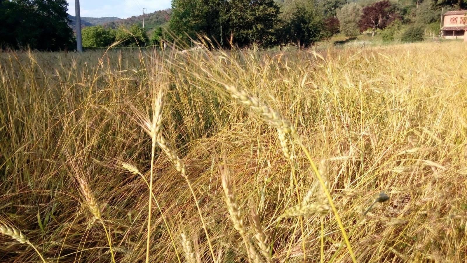 Un campo di grano a La Corbetina