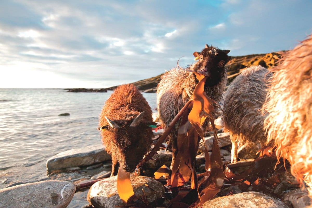 Le Isole Orcadi cercano un guardiano per custodire le pecore neolitiche. C'è il bando
