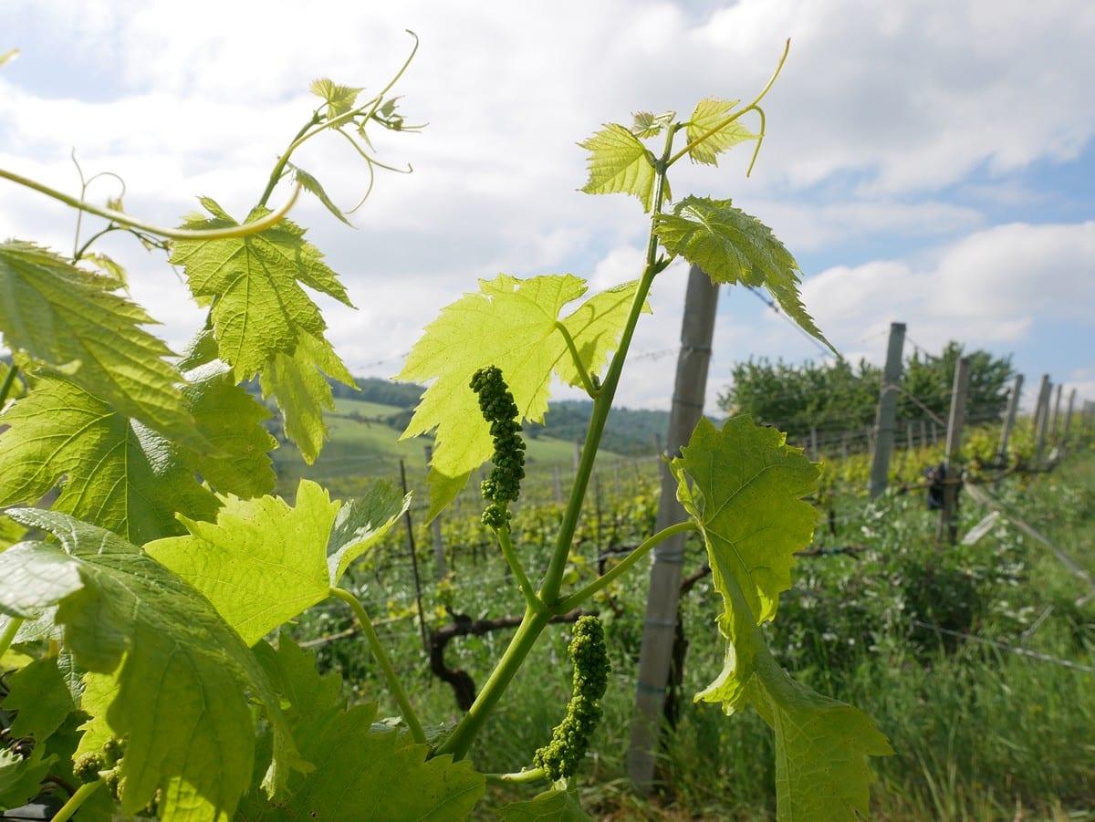 Pignoletto vino - Orsi San Vito