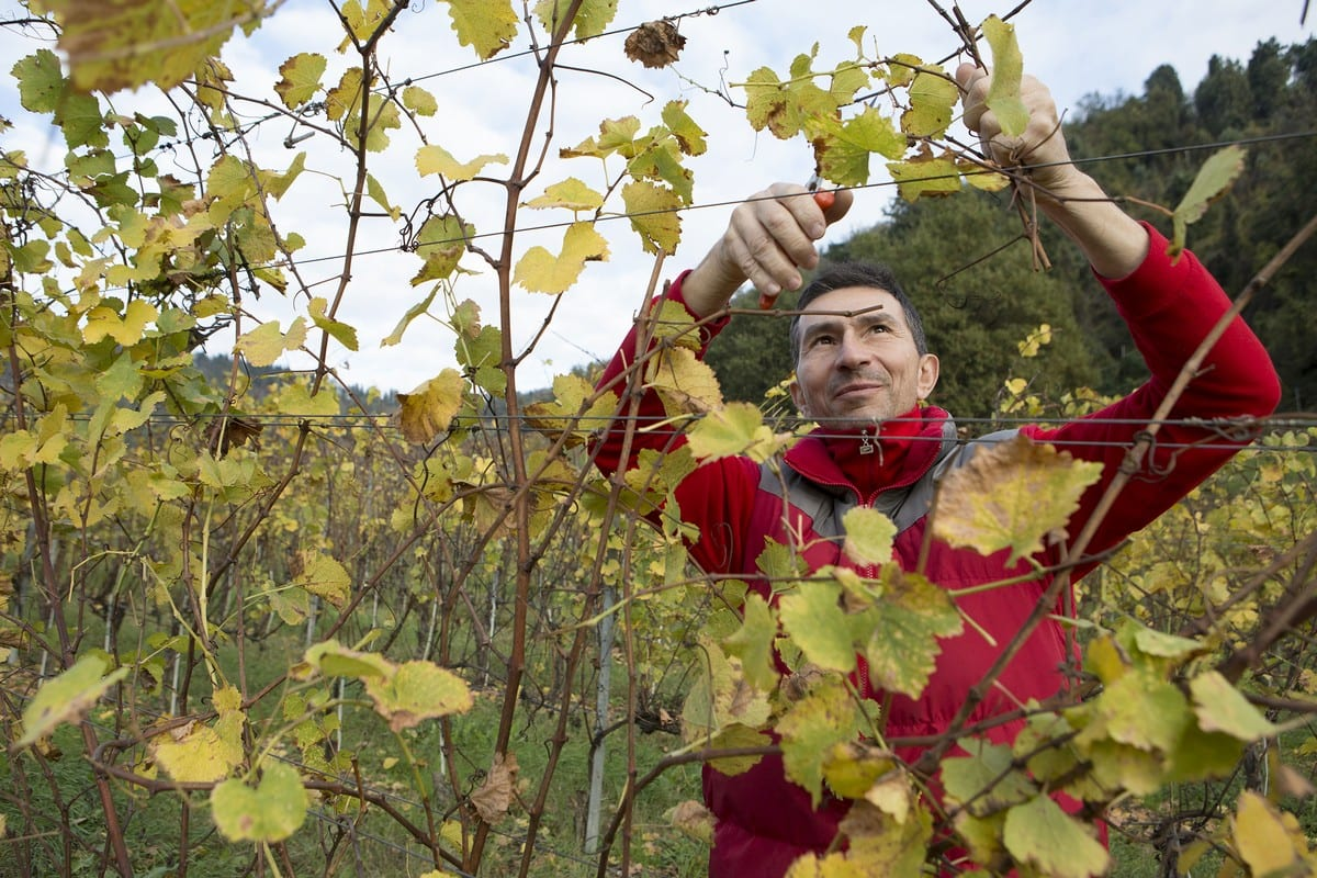 Pignoletto vino - Fattoria Vallona