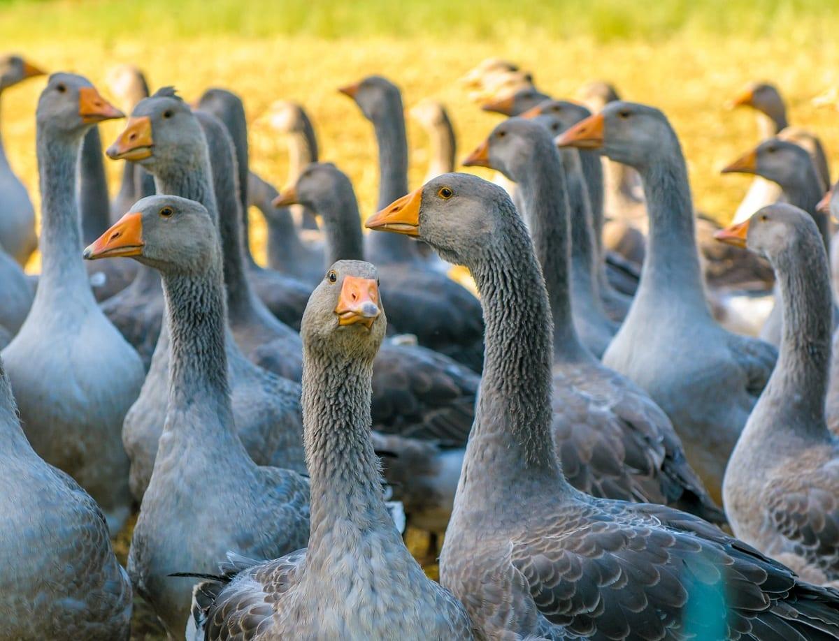 Oche d'allevamento per foie gras