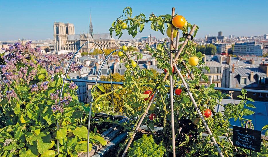 Coltivazione di pomodori sui tetti con Notre Dame sullo sfondo