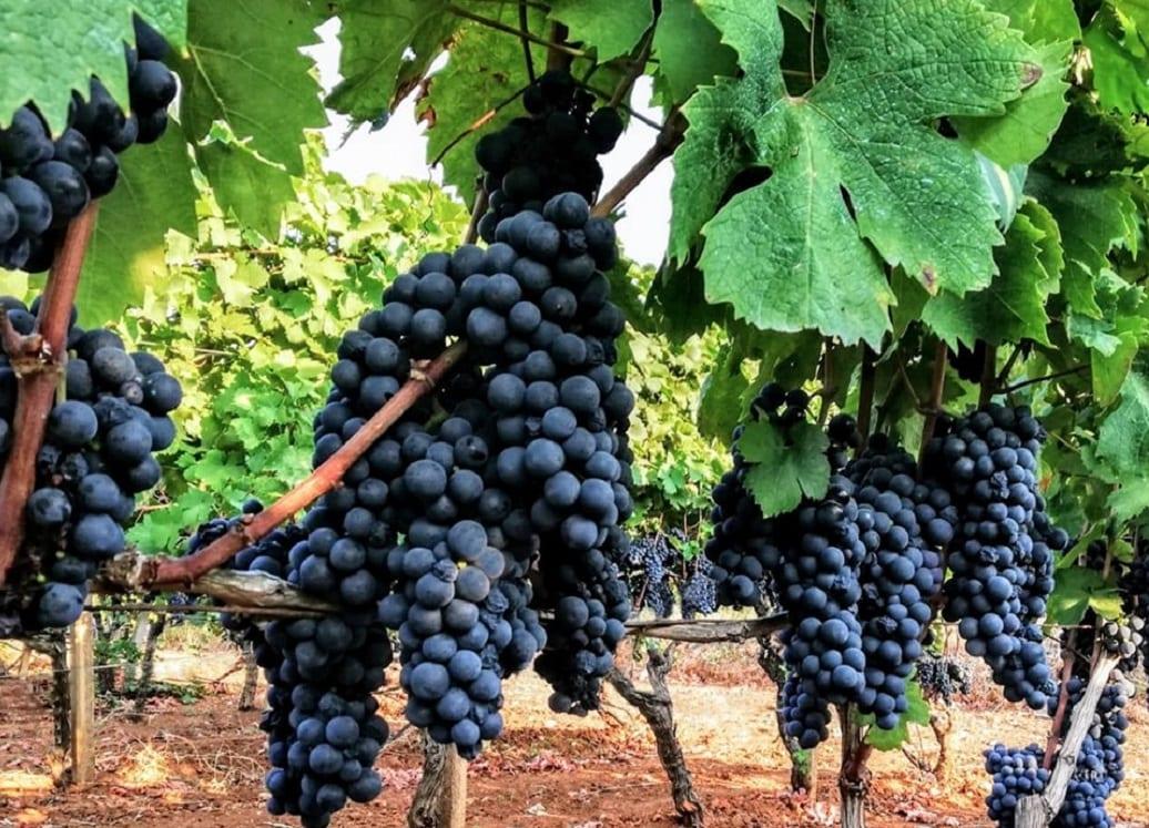 produttori di manduria grappolo di uva
