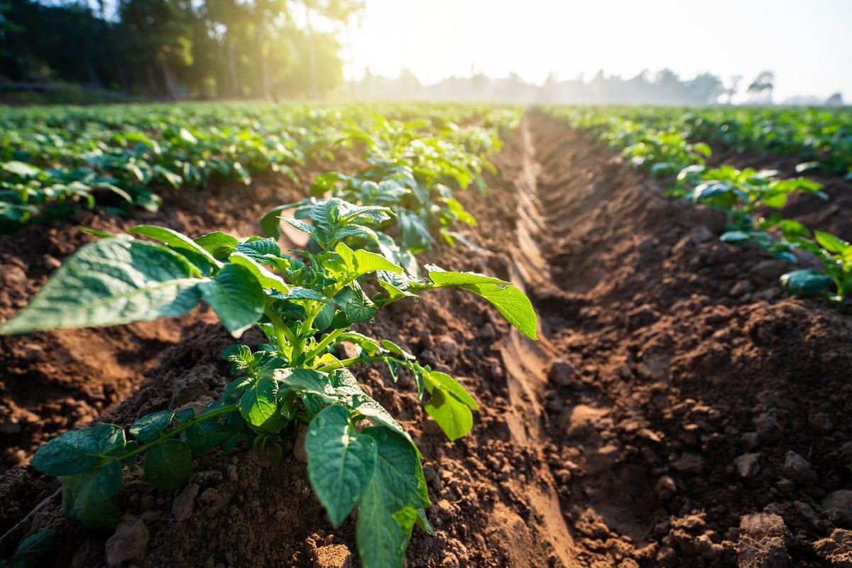 Campo di patate, ripreso dal suolo