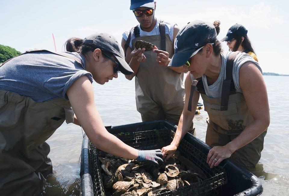 La squadra di Billion Oyster Project sistema le ostriche in mare