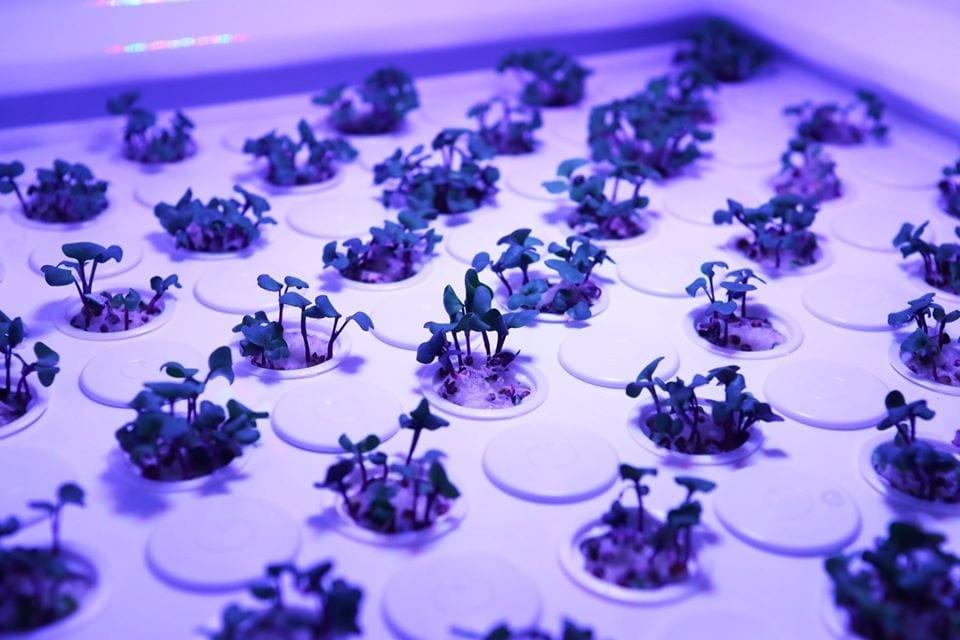 Piantine in coltivazione indoor