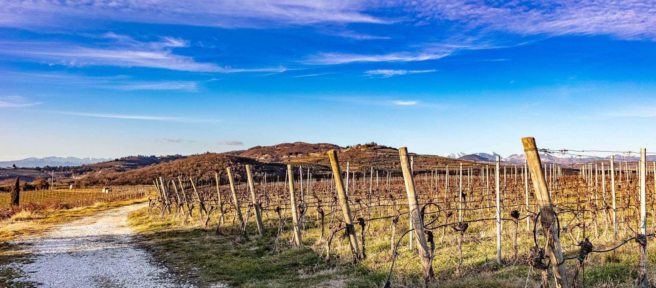 La vigne di Tenuta Sant'Antonio
