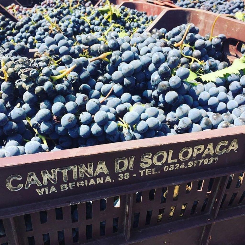 cantina di solopaca uva