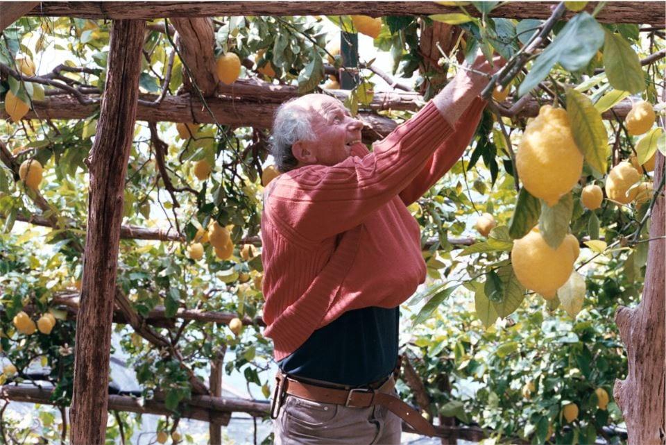 Raccolta dei limoni ad Amalfi