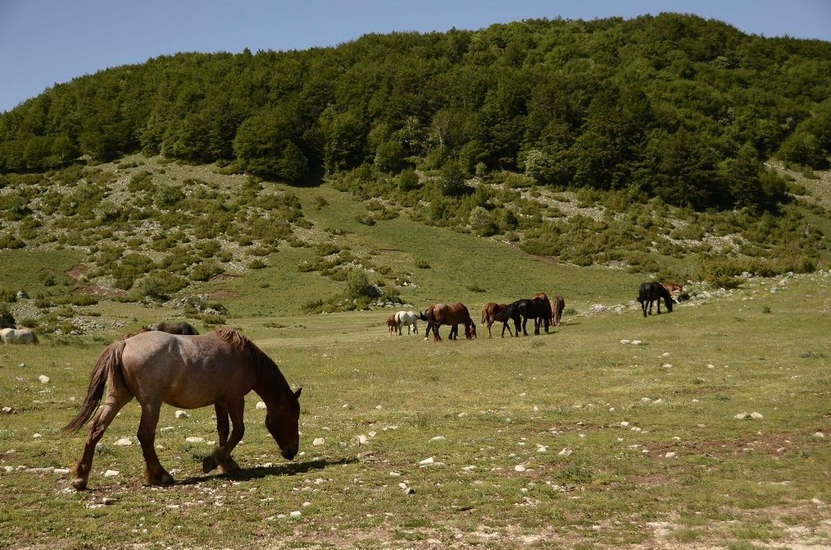 Cavalli al pascolo in Appennino