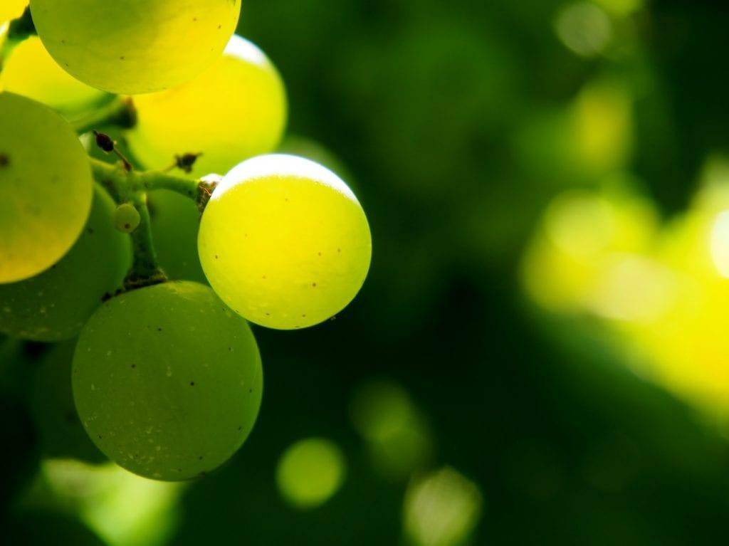 Biologico - acini verdi - Foto di flockine da Pixabay