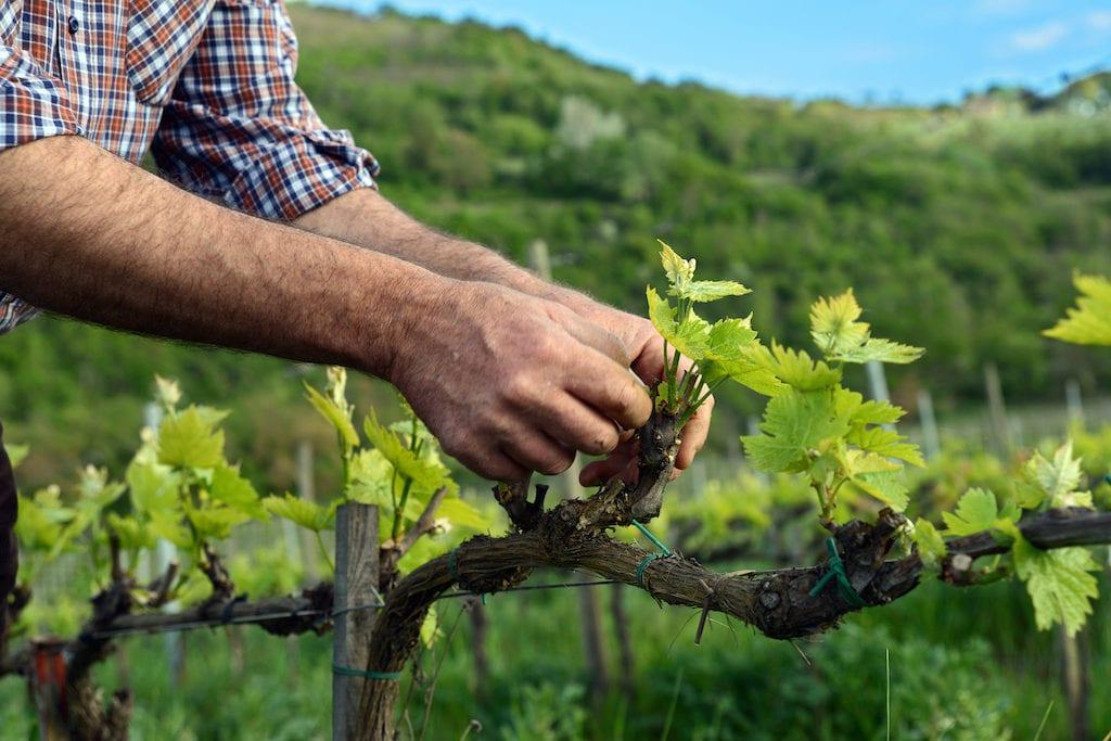 L'Italia gioca la carta della sostenibilità vitivinicola: entro settembre il disciplinare