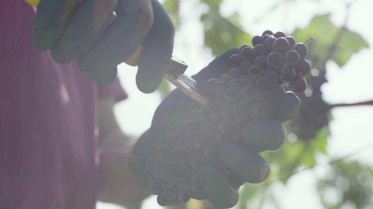 Taglio dell'uva in vigna