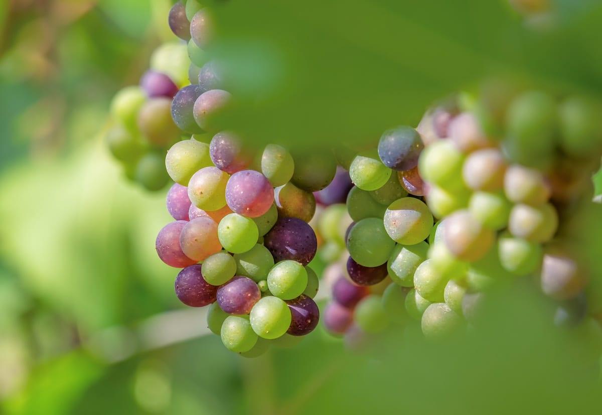 vino naturale - uve - Foto di Couleur da Pixabay