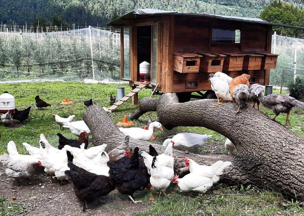pollaio su ruote