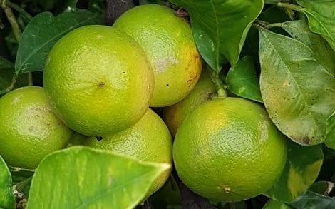 Bergamotti sulla pianta