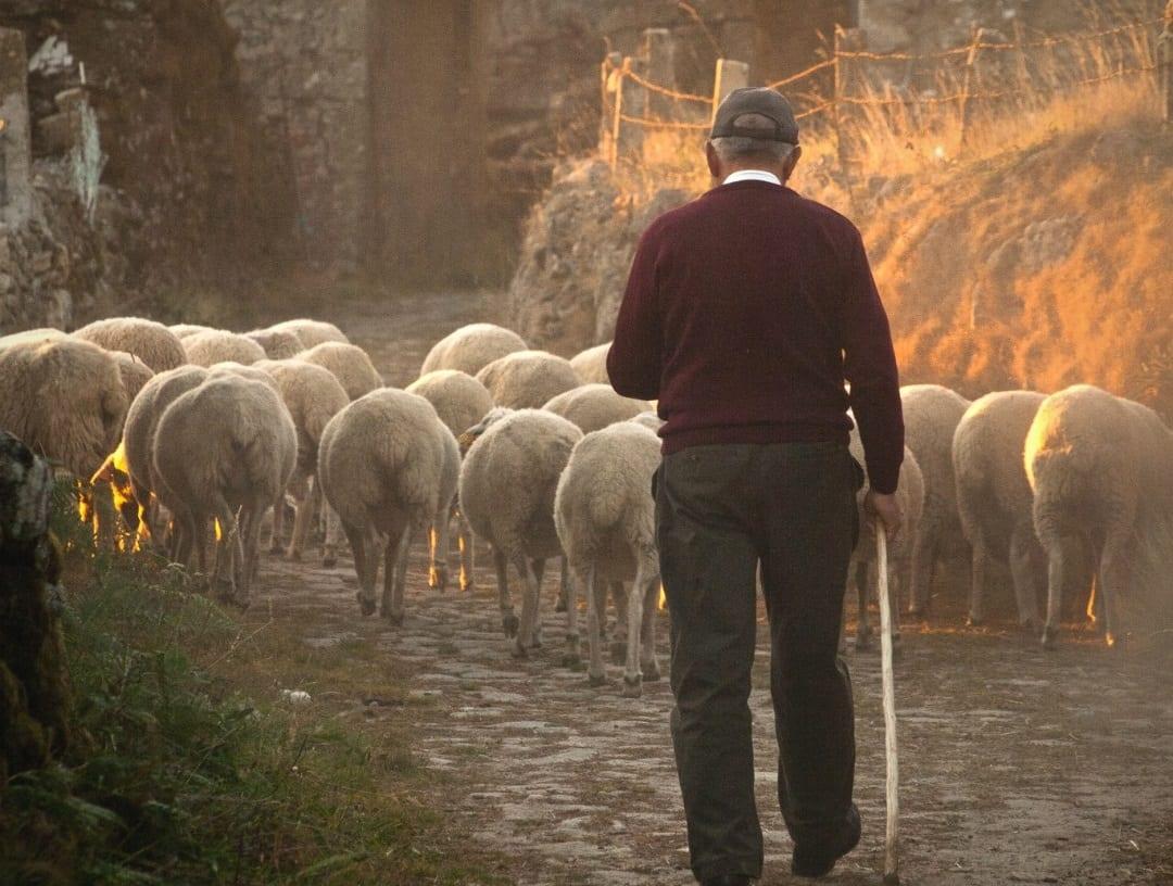 Pastore conduce le pecore
