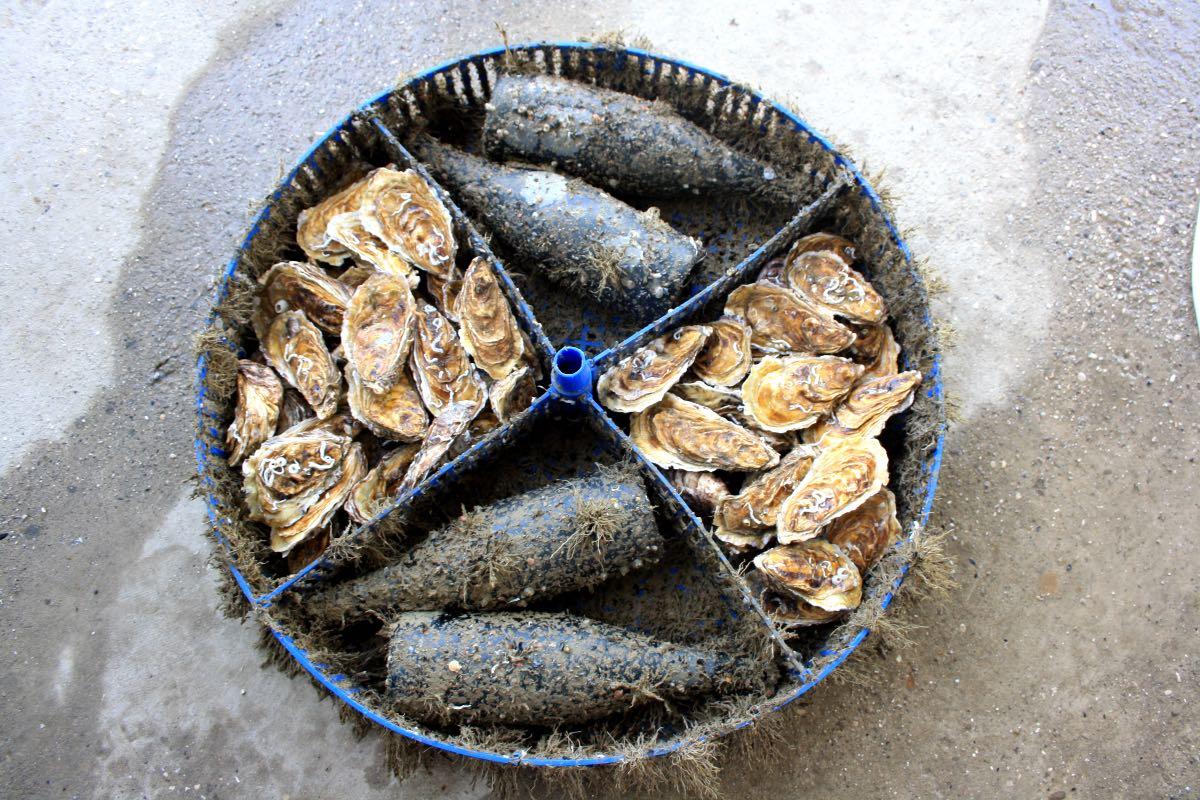 Ostrica d'Oro di Goro