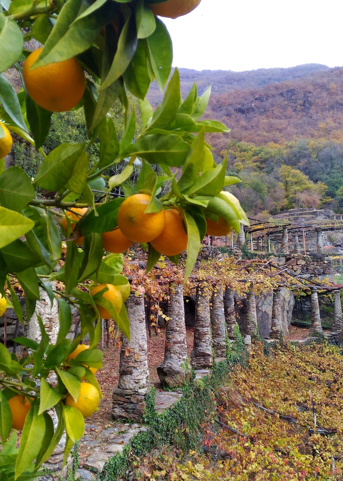 Figliej viticoltura di montagna