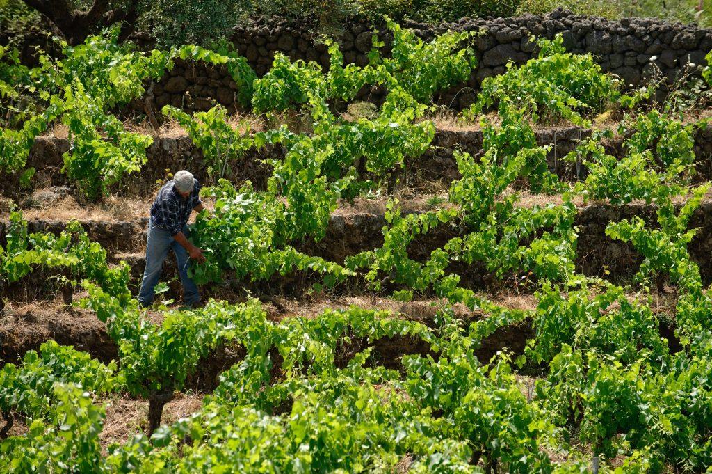 Scopri le vigne cententarie nel mensile del Gambero Rosso