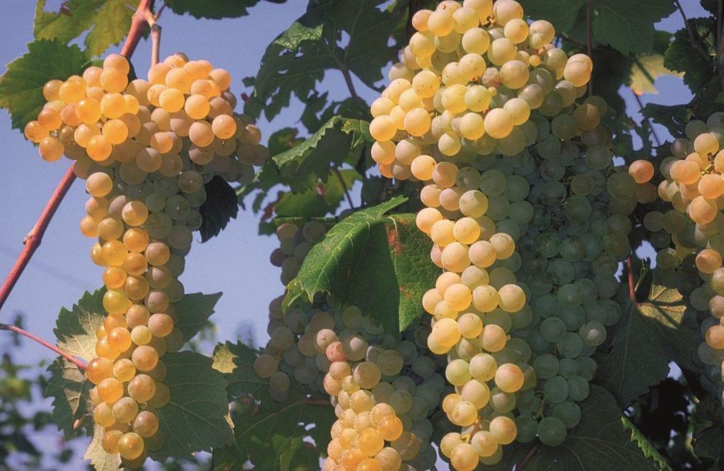 grappolo di uva albana