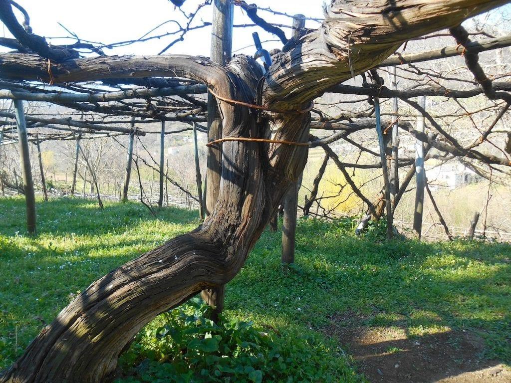 Una monumentale vigna antica di Tramonti