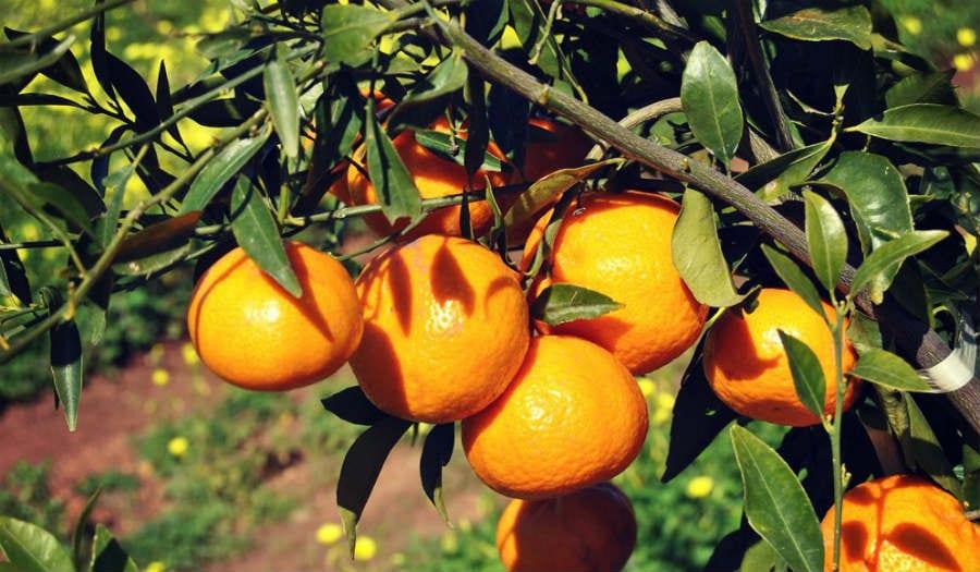 Mandarino tardivo di Ciaculli