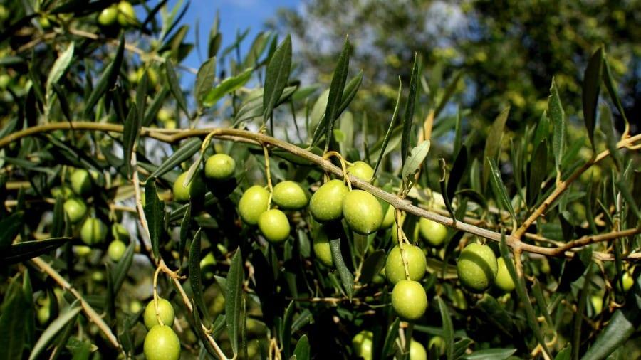 Olive, Accademia Olearia