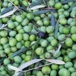 olive itrana