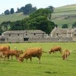 Paesaggi del nord Yorkshire con mucche