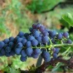Attica grapes