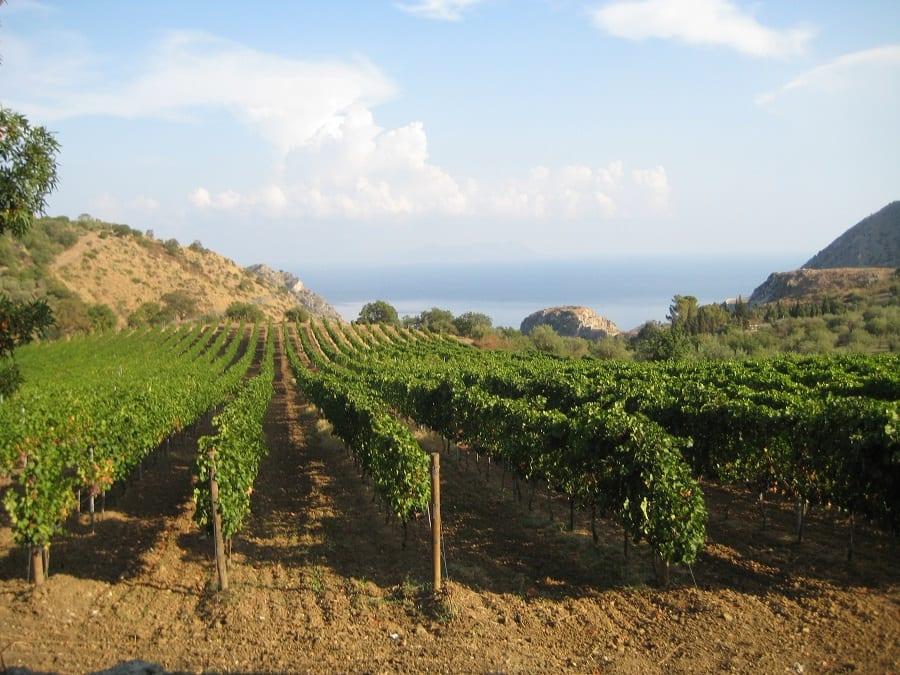 Una vigna della Doc Mamertino in Sicilia, con vista sul mare