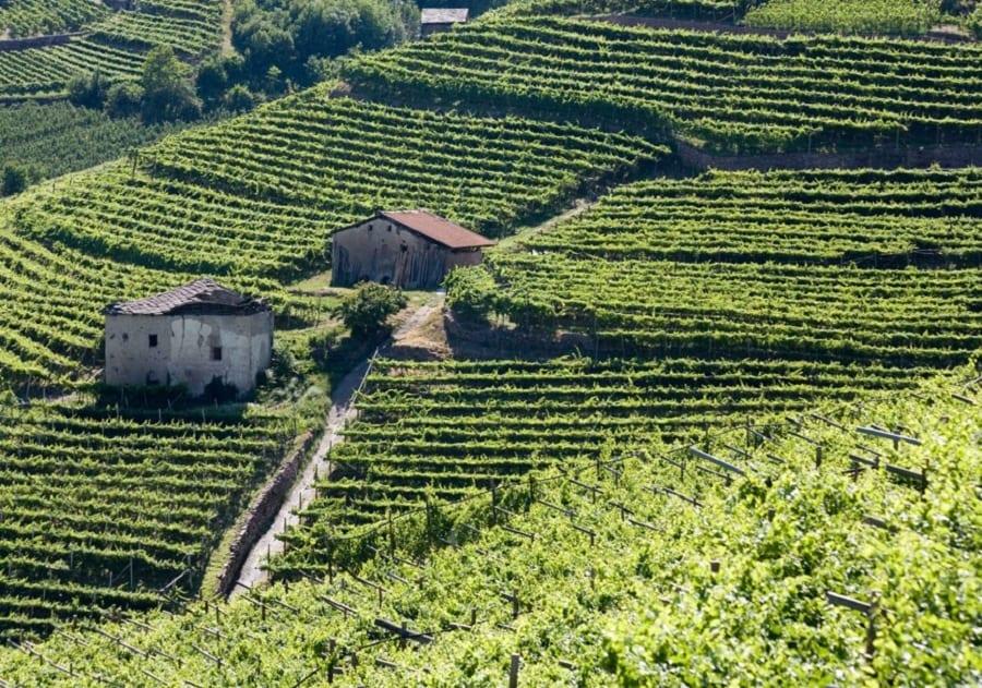 Müller Thurgau Vino di montagna. Alla scoperta delle migliori etichette