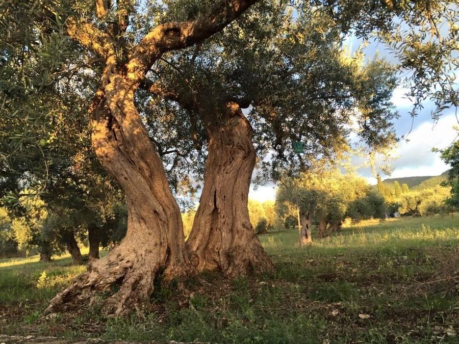 Il migliore olio della Sicilia. La produzione regionale e le aziende