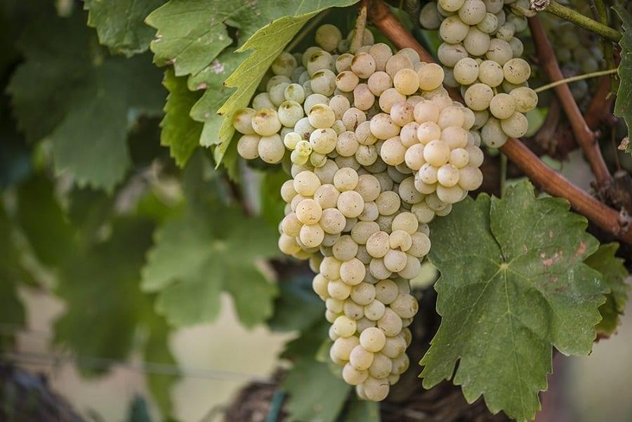 Viaggio tra i vitigni autoctoni: il mantonico bianco