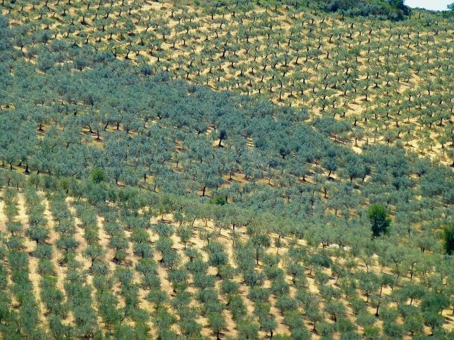 Lo stato dell'olivicoltura in Europa e i progetti per il futuro