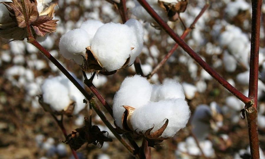 """In America """"inventano"""" il cotone commestibile. Per combattere la fame"""