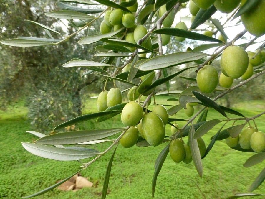 Extravergine di oliva: un quadro sulla produzione in Italia e nel mondo
