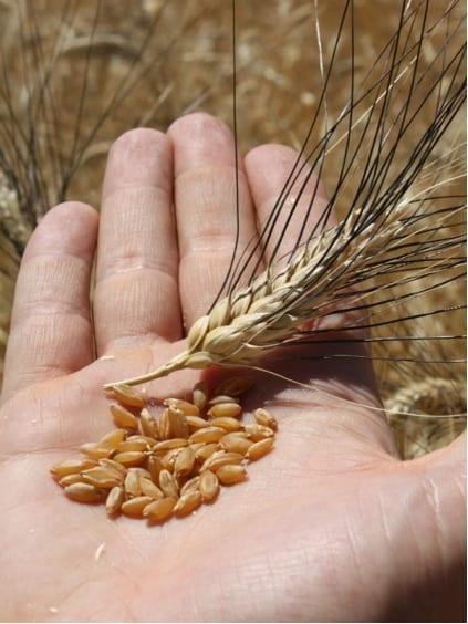 La città della pasta lancia una novità, ma l'ultimo nato di Gentile di Gragnano è il primo 'riso' di grano duro