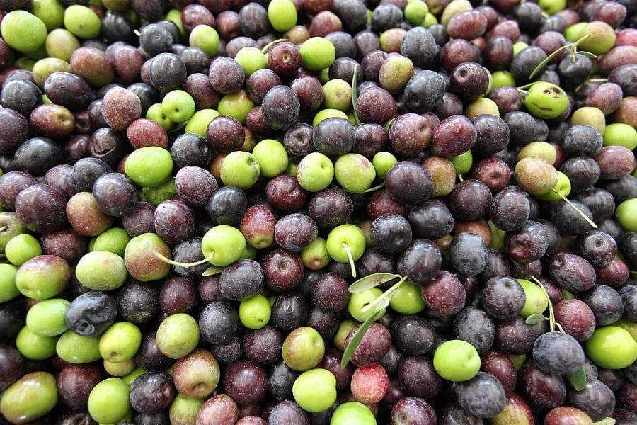 """2016 annata """"maledetta"""" per l'olio di oliva italiano: raccolto dimezzato"""