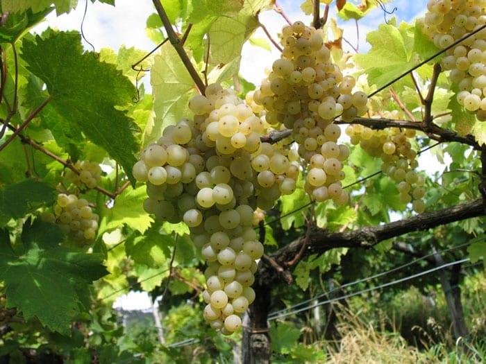 Grappoli di Vitovksa, il vino del Carso